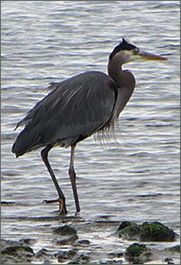 Great Blue Heron on the beach
