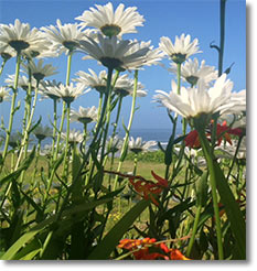 Daisy flowers with Pacific Ocean background